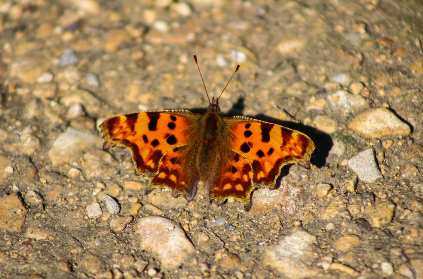 Animal Markings Animal Themes Animal Wildlife Animals In The Wild Beauty In Nature Butterfly Butterfly - Insect Close-up Comma Comma Butterfly Day Fragility Full Length Insect Nature No People One Animal Outdoors