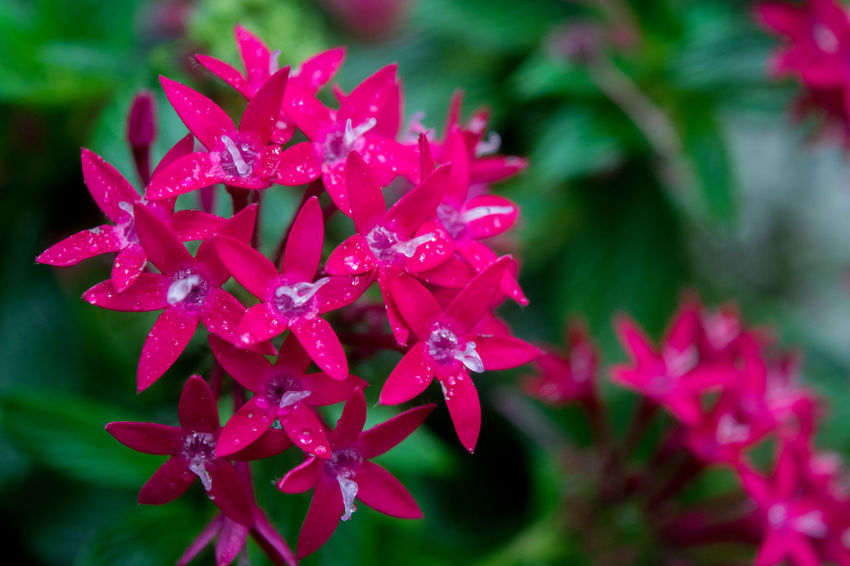 Flowers after rainy morning. Beautiful Beauty In Nature Close Up Nature Close-up EyeEm Best Shots - Nature Flower Flowers Flowers After Rain Outdoors Pink Pink Color Red Flower Selective Focus The Great Outdoors - 2016 EyeEm Awards Nature's Diversities