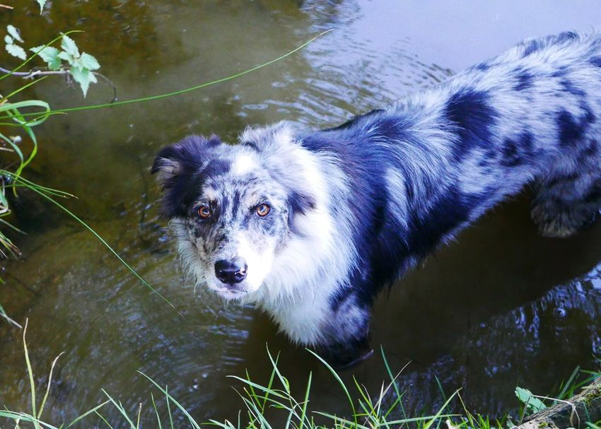 EyeEm Selects Dog One Animal Animal Themes Pets Domestic Animals Mammal Outdoors Day Water No People Nature Portrait Border Collie Blue Merle Blue Merle Dogs
