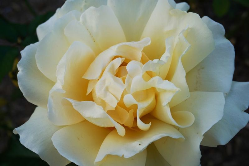 The almost look similar to an icing on a cake. Marvel on that layers of petals. Inflorescence Flower Flowering Plant Flower Head Petal Beauty In Nature Vulnerability  Fragility Freshness Close-up Growth Plant Rosé Nature Rose - Flower White Color Yellow Focus On Foreground