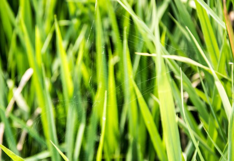 Spider Growth Nature Green Color Plant Close-up Grass Day Beauty In Nature Outdoors No People Fragility Tranquility Freshness Egypt Egyptphotography