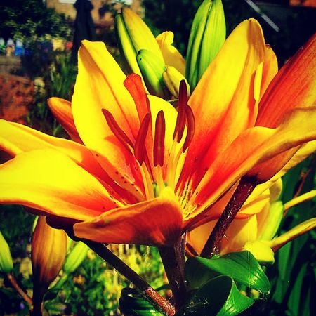 asiatic lily my garden Simple Beauty