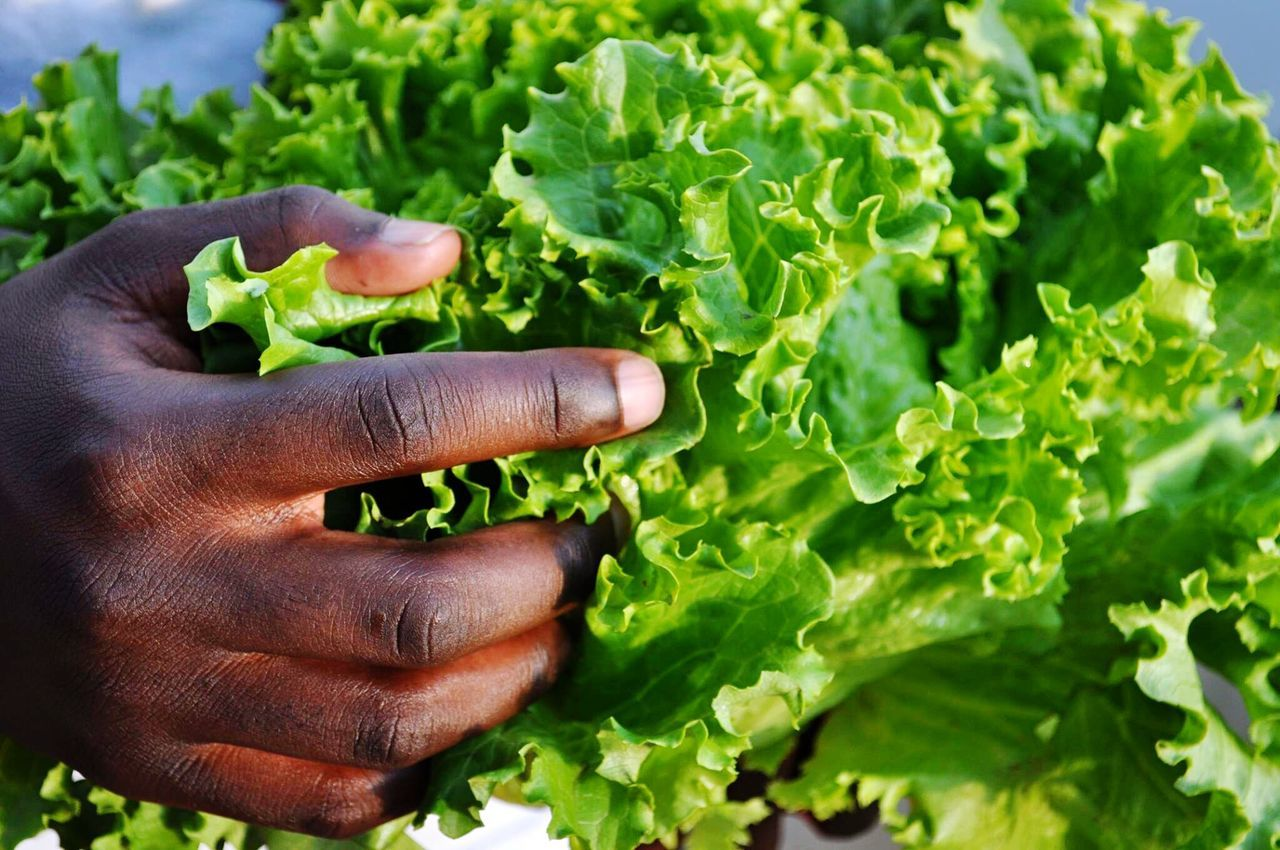 human body part, human hand, green color, vegetable, healthy eating, leaf, one person, food and drink, freshness, real people, food, close-up, lettuce, lifestyles, plant, growth, healthy lifestyle, day, outdoors, nature, one man only, adult, people, adults only