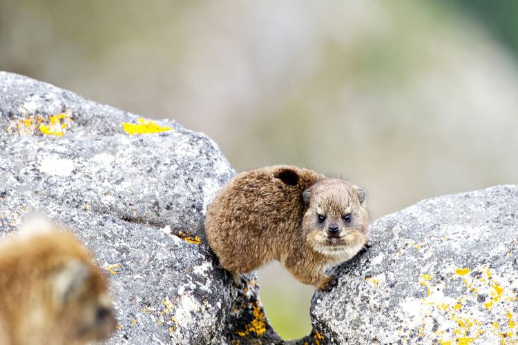 Animal Themes Animal Animal Wildlife Animals In The Wild One Animal Mammal Rock - Object Rock Solid No People Day Outdoors Rodent Marmots Cutie Cute