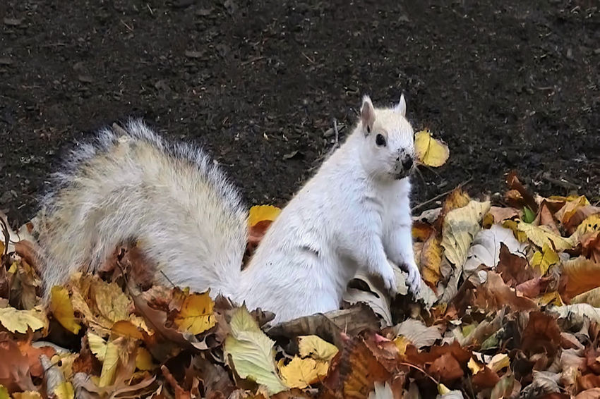 White squirrel playing among autumn leaves in the Boston Public Garden. He's quire infamous there. Autumn Boston Public Garden  New England  Squirrel White Squirrel Animal Animal Themes Autumn Brown Color Change Close-up Cute Day Domestic Animals Fallen Leaves Leaf Leaves Mammal Nature No People One Animal Outdoors Playing Rodent White Color