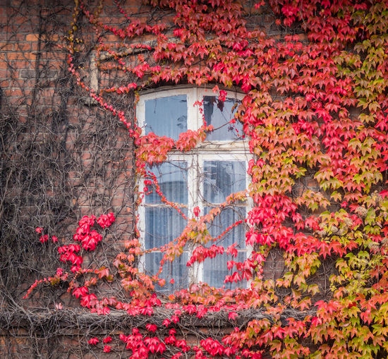 Red ivy on house with white window Architecture Plant Autumn Red Building Exterior Nature Built Structure Day Flower No People Growth Change Flowering Plant Ivy Building Outdoors Beauty In Nature Plant Part Leaf House