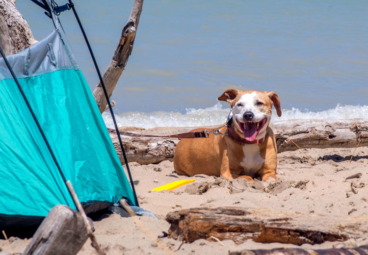 A happy dog guards the family tent, as he enjoys a sunny summer day