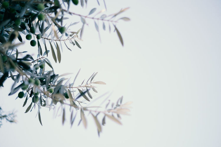 Close-up of olive tree against sky