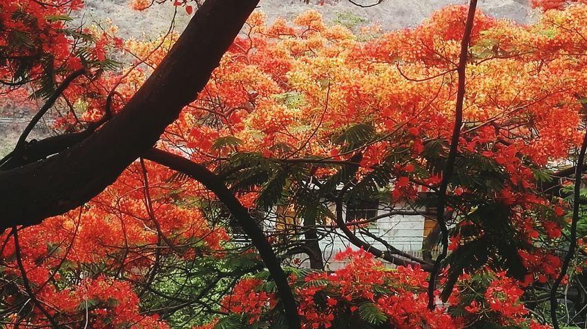 凤凰树系19 Tree Branch Backgrounds Leaf Full Frame Close-up Sky