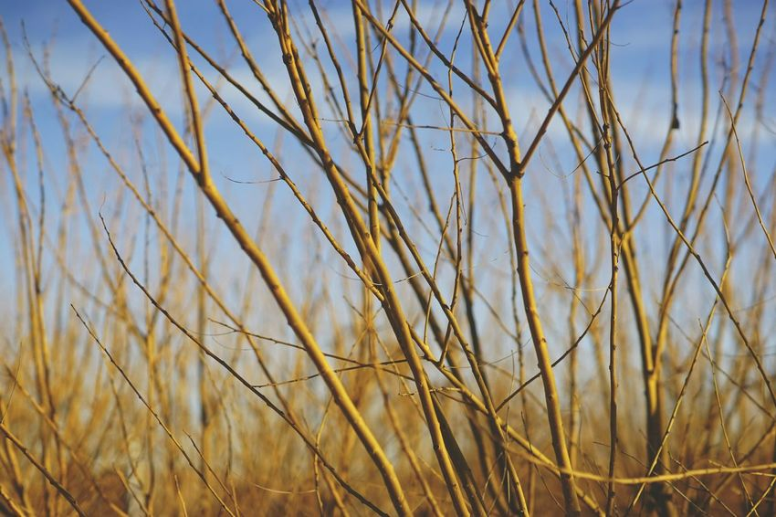 Shades Of Winter Growth Nature Plant Day Outdoors Cereal Plant Grass No People Field Beauty In Nature Agriculture Tranquility Backgrounds Sky Scenics Close-up