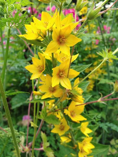 Yellow Flower Plant Petal Flower Head Nature Growth Close-up Freshness Fragility Blooming Beauty In Nature Garden No People Day Yellow Color Outdoors Yellow Flower Yellow Flower Collection Flower Collection Flower Stem Garden Blooms Green Color Yellow With Green Background Yellow And Green