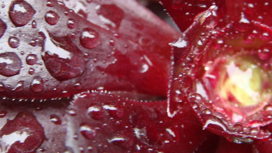 Backgrounds Close-up Detail Dew Dew Dew Drops Dewdrops Drop Flower Fragility Freshness Full Frame Macro Petal Pink Color Rain RainDrop Raindrops Red Season  Selective Focus Succulents Water Weather Wet
