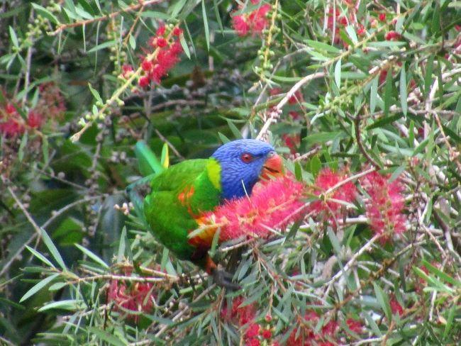 Rainbow Lorikeet Beauty In Nature Beautiful Bird One Animal Cairns, North Queensland, Australia Rainforests Close-up Outdoors Grevillea Tree