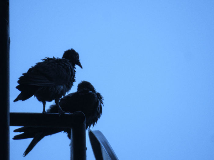 Two birds with ruffled feathers after getting wet in the rain Bird Sky Nature Clear Sky Perching Group Of Animals No People Silhouette Blue Two Birds Feathers Outdoors Ruffled Feathers
