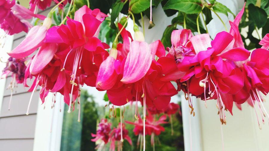 Fuchia Flowers