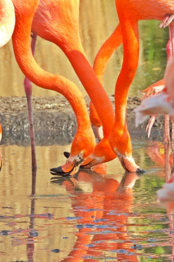 Water Orange Color Animals In The Wild Animal Themes Group Of Animals Animal Animal Wildlife Vertebrate Flamingo Reflection No People Outdoors Nature Day Lake