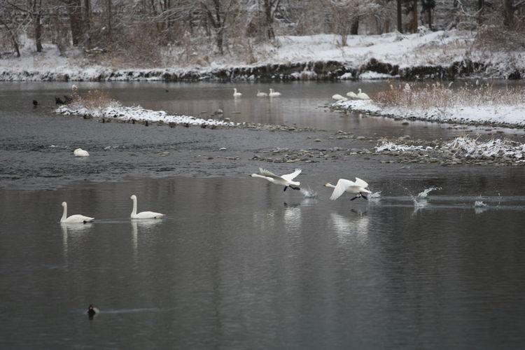 犀川から飛び立つ白鳥 Bird Flying Bird Photography Bird Flying Birds Flying Swans Swan Swan Flying On Water Swan Flying Swan River