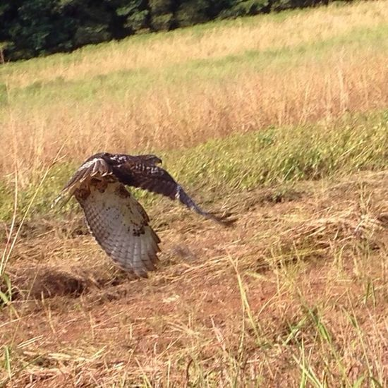 Hawk in action. Side of the road . Today Popular Photos iPhone work