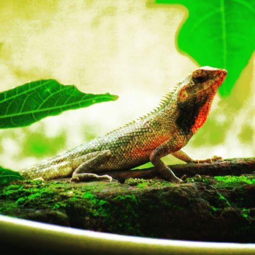Iguana Reptile Chameleon Lizard Close-up Green Color Animal Scale
