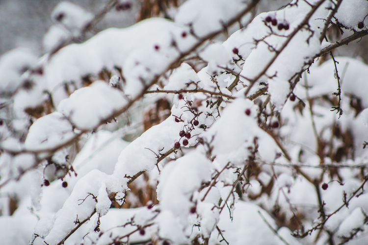 Close-up of snow on cherry tree