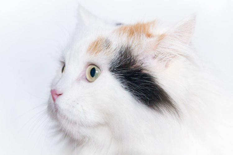 White cat Animal Themes Cats Close-up Day Domestic Animals Domestic Cat Feline Indoors  Mammal No People One Animal Persian Cat  Pets Portrait White White Background White Color