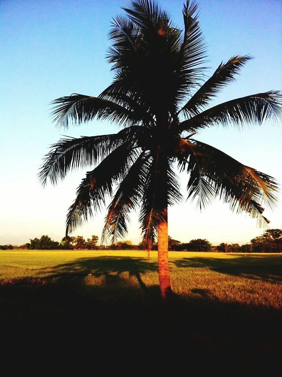 tree, palm tree, scenics, tranquility, landscape, tranquil scene, beauty in nature, tree trunk, field, nature, no people, growth, sky, outdoors, day, clear sky, grass
