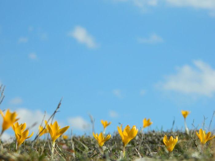 Erkan Davulcu Çekimleri >>> İlkbahar Çekimlerim Çiğdem Çiçeği Beauty In Nature Blue Botany Clear Sky Copy Space Day Field Fragility Growing Growth Horizon Over Land Landscape Nature No People Outdoors Scenics Springtime Tranquil Scene Tranquility