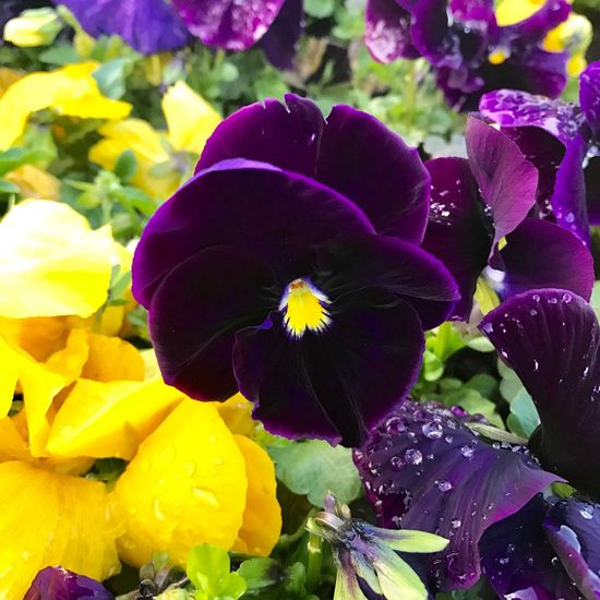 Flower Fragility Petal Freshness Flower Head Growth Nature Purple Plant Beauty In Nature Blooming Close-up Pansy Focus On Foreground Yellow No People Leaf Outdoors Day