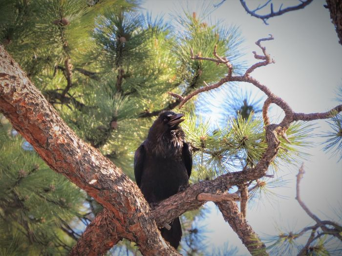 Crow Blackbird Raven Tree Branch Climbing Palm Tree Sky Animal Themes Perching Pine Tree