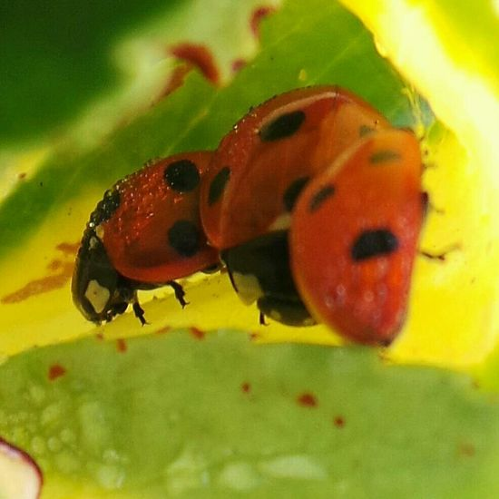 Ladybirds sheltering from the Early Morning Frost Macro Nature Streamzoofamily