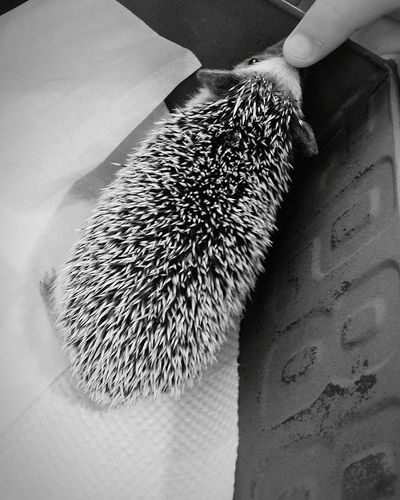 My Son stroking the Hedgehog's Nose Hedgehog Animal Hedgehog Cafe Box Ginza Ginza, Tokyo Tokyo Japan Winter2016 TokyoDec2016 JapanDec2016 Hedgehogs Animals Bnw_life Bnw Bnwtokyo Bnwjapan Bnw_collection
