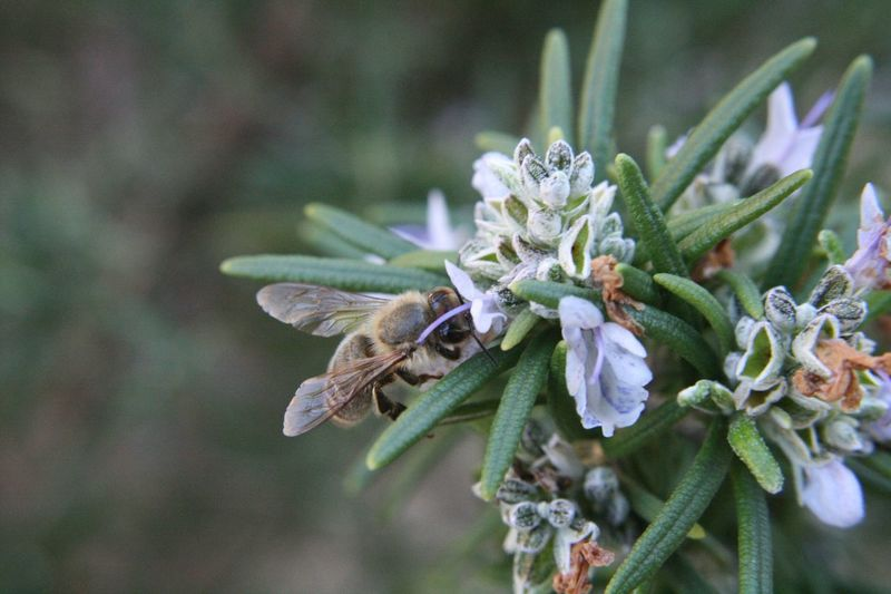 Rosemary Herb Bee Flower Nature Plant Focus On Foreground One Animal Day No People Green Color Growth Outdoors Beauty In Nature Close-up Leaf Fragility Flower Head