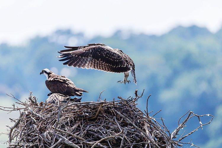 Bird Bird Photography Birds Birds_collection Birds Of EyeEm  Animals In The Wild Wildlife Wild Wildlife & Nature Wildlife Photography Osprey