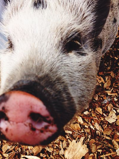 One Animal Close Up Close Up Animal Farm Animal Pig Pigs Nose