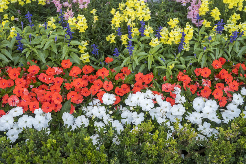 Begonia Flower Garden Flowers Gardening Beauty In Nature Blooming Close-up Day Flower Flower Head Flowerbed Fragility Freshness Garden Green Color Growth Leaf Multi Colored Nature No People Outdoors Petal Plant Red Color Snapdragon Flower White Color