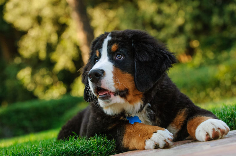 Bernese Mountain Dog One Animal Dog Canine Pets No People Nature Day Outdoors Looking Purebred Dog Bernese Mountain Dog Bernese Photography Animal Themes Purple Lying Down Grass Yard Young