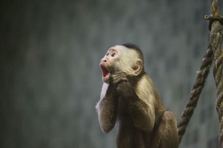 Animal Themes Frightend Mammal Monkey Oh My God Omg One Animal Scream Screaming