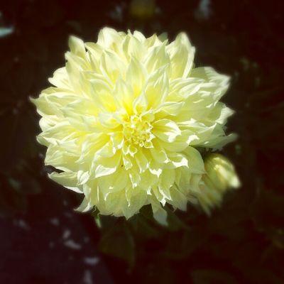 Flower Summer Nature Dalia