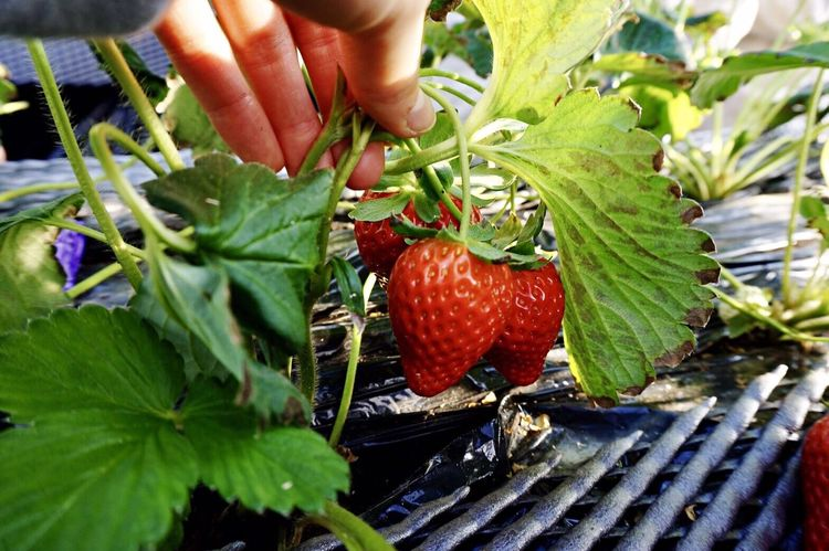 Human Hand Human Body Part Fruit Food Red Food And Drink Freshness Leaf Strawberry Strawberries Tochiotome Close-up Healthy Eating Strawberrypicking Nature Day Outdoors