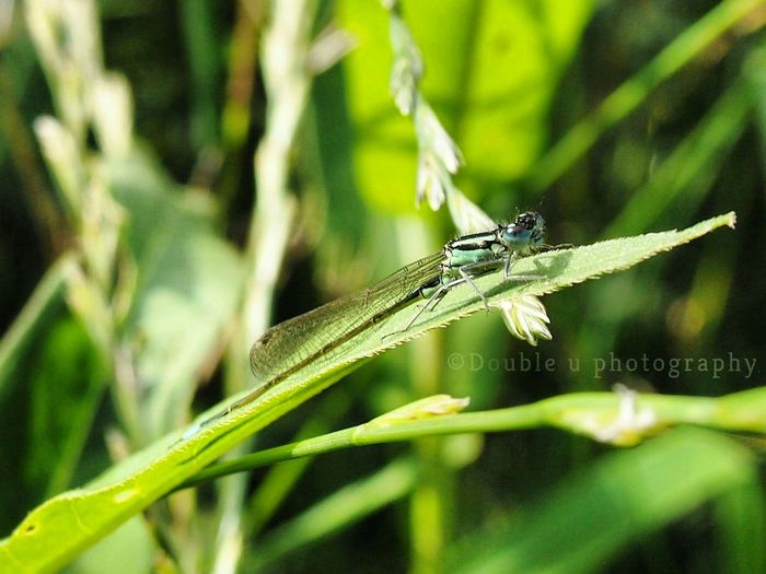 Animal Wildlife One Animal Insect Green Color Nature Animal Themes Close-up Leaf No People Outdoors Animals In The Wild Dragonfly Plant Day Grass Beauty In Nature Focus On Foreground Nature_collection Selective Focus Olympus Camera Social Issues Fragility Beauty In Nature Tranquility Photograph