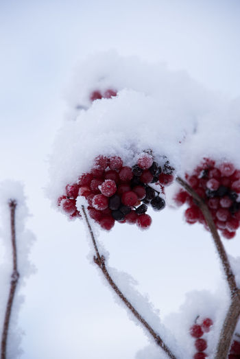 Snow Winter Cold Temperature Fruit Frozen Plant Berry Fruit Nature Beauty In Nature Healthy Eating No People Covering Food And Drink White Color Red Close-up Tree Day Food Ice Extreme Weather Powder Snow Rowanberries Crispy White And Red