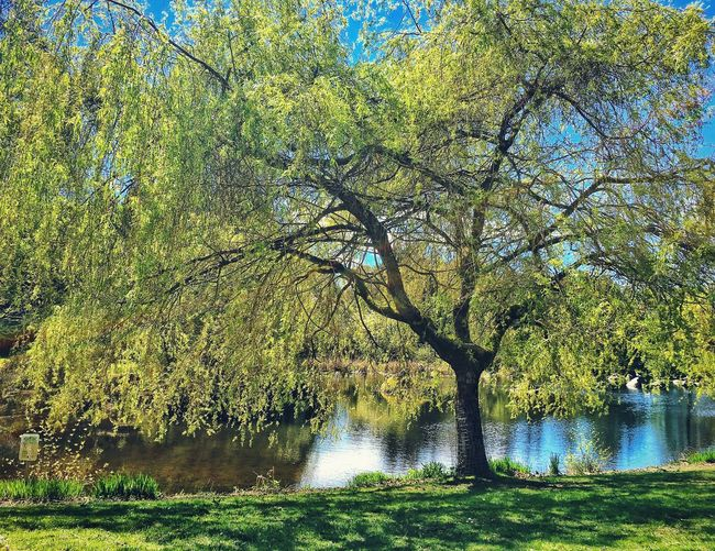 Large Willow Tree beside a pond at Charleson Park. Tree Water Tranquil Scene Pond Willow Tree Weeping Willow Nature Blue Sky Sunny Day Springtime Spring Outdoors Trees Tree_collection  Charleson Park False Creek Seawall