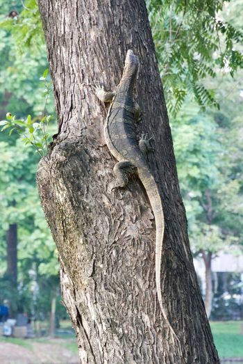 Tree Tree Trunk Trunk Animal Wildlife Plant Animal Themes Animals In The Wild Animal One Animal Nature Focus On Foreground Day No People Vertebrate Outdoors Climbing Close-up Water Monitor Lizard