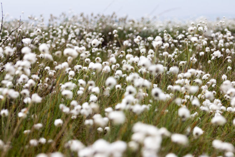Close-Up Of White Flowering Plants On Field During Winter
