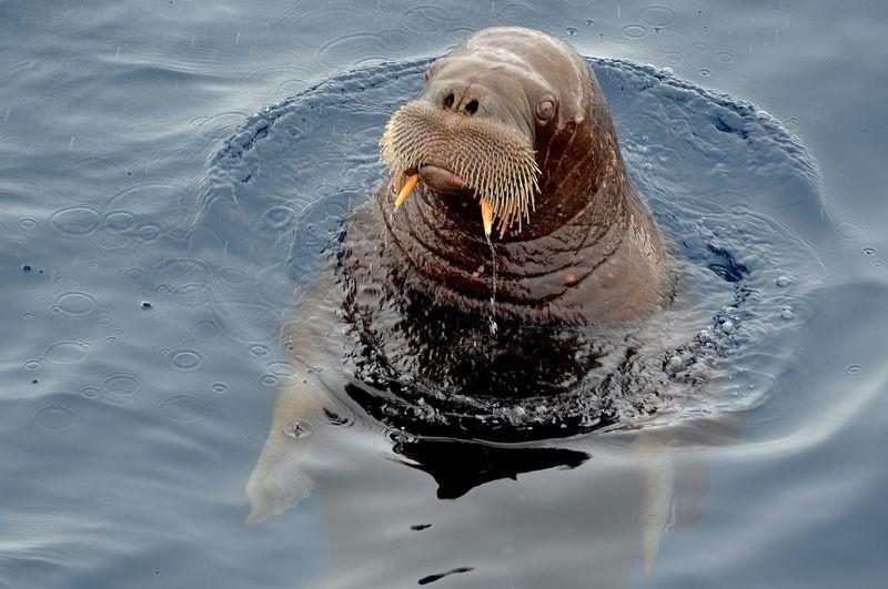 Chukchi Sea Animal Themes Animal Wildlife Animals In The Wild Aquatic Mammal Arctic Close-up Mammal Nature No People One Animal Sea Sea Life Swimming Walrus Water Whisker First Eyeem Photo