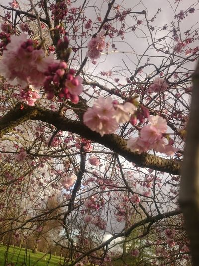 Beauty In Nature Blossom Branch Cherry Blossom Cherry Tree Close-up Day Flower Flower Head Flowering Plant Fragility Freshness Growth Low Angle View Nature No People Outdoors Pink Color Plant Spring Springtime Tree Vulnerability