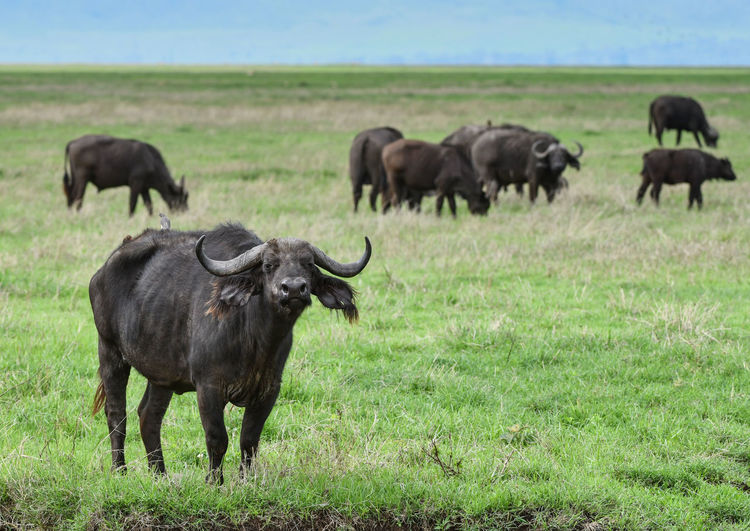 Buffaloes standing on grassy land