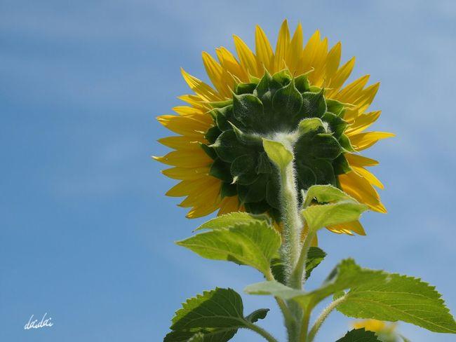 大きな背中 E-PL3 Flower Sunflower 向日葵 後ろ姿 Noedit