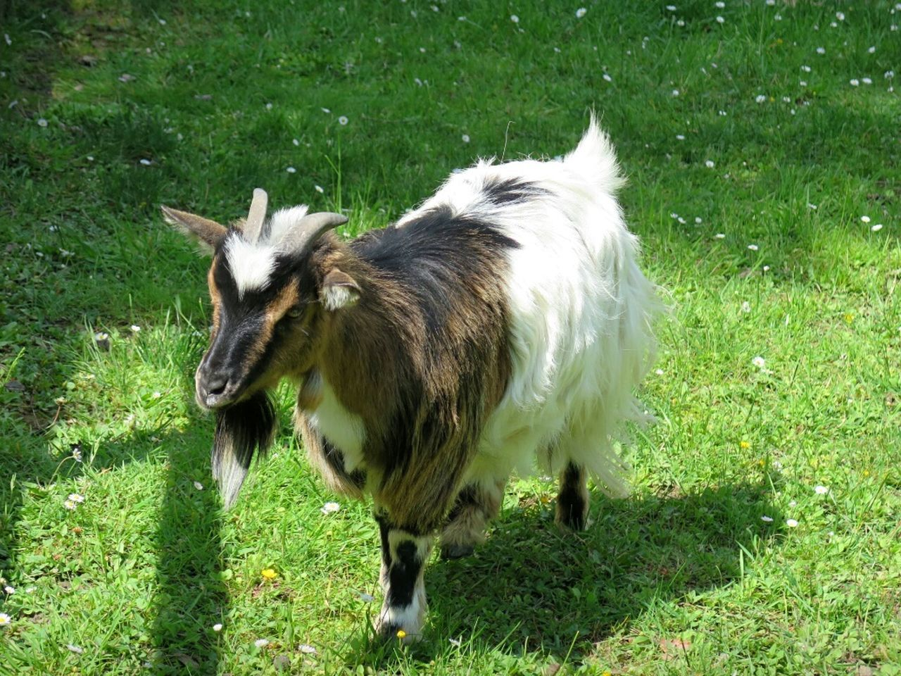 animal themes, domestic animals, grass, one animal, field, livestock, green color, mammal, day, outdoors, no people, nature, full length