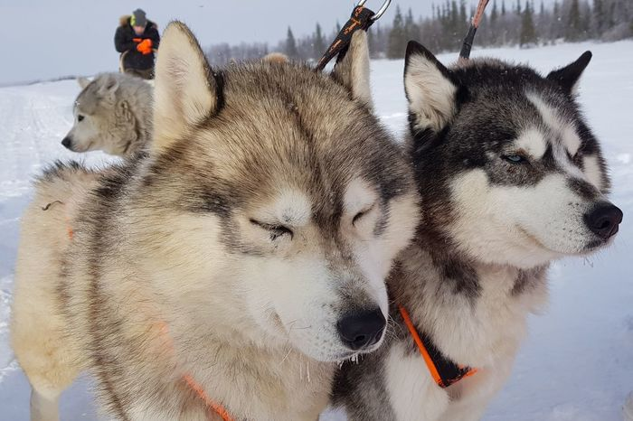 Siberian Husky Teriberka Murmansk Russia EyeEm Selects Snow Cold Temperature Winter Pets Dog Portrait Close-up Siberian Husky Pet Collar Sled Dog Working Animal